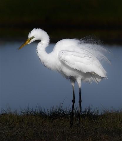 Snow Egret IMG25280