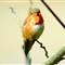 Kolibri 5