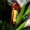 The regal moth,