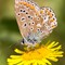 And Very Delicate: Common Blue Butterfly (Polyommatus icarus - female). The beautifully patterned underwing, as shown, is the same for both sexes and the wingspan is a mere 35mm approx.