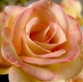 soft rose petals