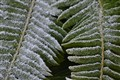 Frosty Fern Fronds