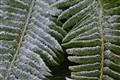 Frosty Fern Fronds