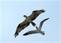 Sea Gull Chasing Osprey