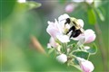 Bumble Bees and Apples