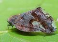 Ricanid Leaf Hopper