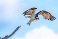 Osprey Taking off to go Fishing (1 of 1)