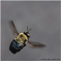 Carpenter Bee in flight - March 2012