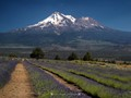 Mt. Shasta Lavender Farms