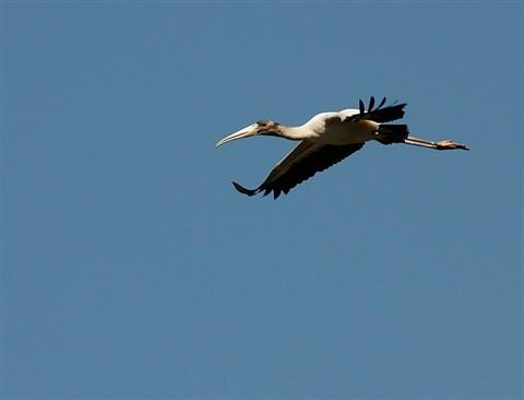 Wood Stork - In Flight (108955285)