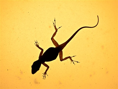 Lizard1060945