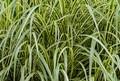 Ornamental Summer Grass