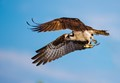 Osprey with its dinner