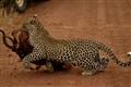 Leopard running away with its prey