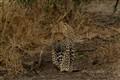 Leopard - Kruger Safari