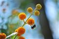 Bumblebee on Orange Ball Tree