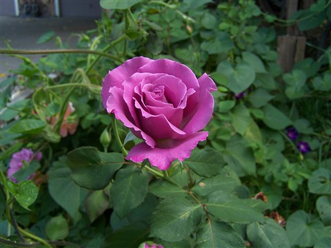Neighbors Rose