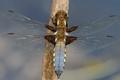 Male Broad-bodied Chaser   (Libellula depressa).