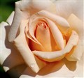 Peach(Orange)Rose