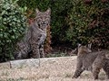 Bobcat pair with 2 cubs lived in daughter's neighborhood for a while.  They wiped out the rabbit population and then moved on.