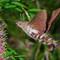 Hawk moth hovers