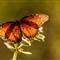 Butterfly #  15