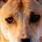 Dingo eyes (sm)