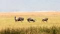 Wildebeest at Ngorongoro Tanzania