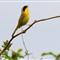 _yellow birdG7I0025