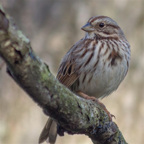 Song Sparrow on weathered branch - 900