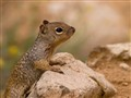 Tucson Ground Squirrel