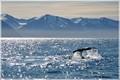 Humpback whale in Husavik