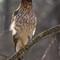 DSC00552 - Cooper's Hawk