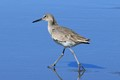 A Willet (I believe)