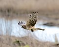 Northern Harrier catching a mice