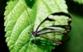 partly transparent butterfly