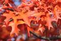 Canadian Oak