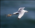 Seagull towing a carrier bag.