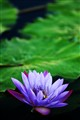waterlily. 175 (2)