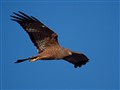 A Spotted Harrier