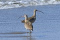a couple of Marbled Godwits