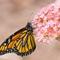 DSC00839 - Monarch on a bloom