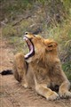 It's a yawn, not a roar