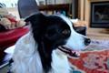 Orson the border collie