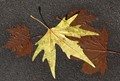 Yellow leaf 2