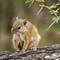 Tree Squirrel #2