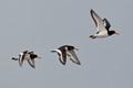 (Haematopus ostralegus) Flying over Holme Dunes Nature Reserve in Norfolk, UK.