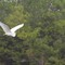 Egret in flight 2: