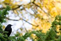 Blackbird waiting for Winter