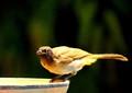 A thirsty bird